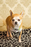Chihuahua Portrait. Photograph of a small dog in an animal rescue shelter Royalty Free Stock Photo