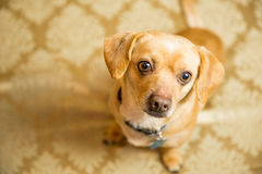 Chihuahua Portrait. Photograph of a small dog in an animal rescue shelter Stock Photo