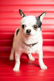 Chihuahua Portrait. Photograph of a small dog in an animal rescue shelter Royalty Free Stock Photography