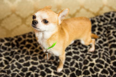 Chihuahua Portrait. Photograph of a small dog in an animal rescue shelter Royalty Free Stock Images