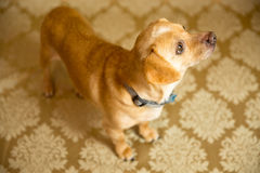 Chihuahua Portrait. Photograph of a small dog in an animal rescue shelter Stock Images
