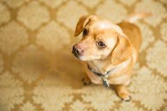 Chihuahua Portrait Royalty Free Stock Photo