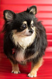 Chihuahua Portrait. Photograph of a small dog in an animal rescue shelter Royalty Free Stock Photos