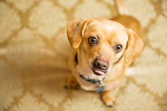 Chihuahua Portrait. Photograph of a small dog in an animal rescue shelter Stock Image