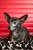 Chihuahua Portrait Royalty Free Stock Image