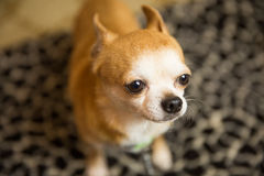 Chihuahua Portrait. Photograph of a small dog in an animal rescue shelter Stock Photography