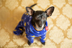 Chihuahua Portrait Royalty Free Stock Images