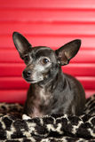 Chihuahua Portrait. Photograph of a small dog in an animal rescue shelter Royalty Free Stock Image