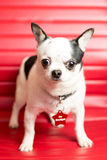 Chihuahua Portrait. Photograph of a small dog in an animal rescue shelter Stock Photos