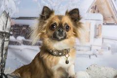 Chihuahua in portrait in winter scene, portrait. Chihuahua in portrait in winter scene Royalty Free Stock Image