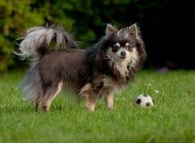 Chihuahua portret Zdjęcia Stock