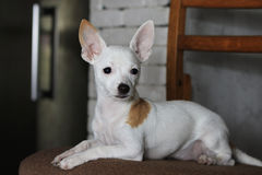 Chihuahua portret; Zdjęcie Royalty Free