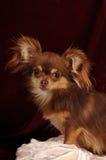 chihuahua portret obraz royalty free