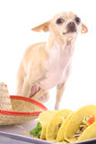 Chihuahua posing with tacos. Photo of a chihuahua posing with tacos Royalty Free Stock Photography