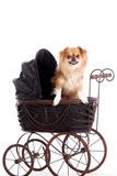 Chihuahua in a pram. Happy dog photographed in the studio on a white background stock photography