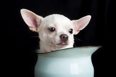 Chihuahua premurosa immagine stock