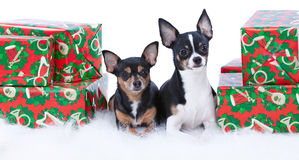 Chihuahua Presents Stock Photos
