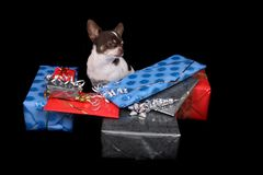 Chihuahua and presents Stock Photos