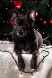 Chihuahua preta com festão do Natal Imagens de Stock