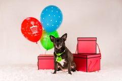 Chihuahua preta em um laço imagem de stock