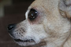 Chihuahua profile Stock Photography