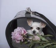 Chihuahua psa traken w budka z peonią i zdjęcia royalty free