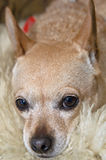 Chihuahua Psi Gapić się fotografia stock