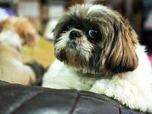 Chihuahua psi obsiadanie na poduszce Fotografia Royalty Free