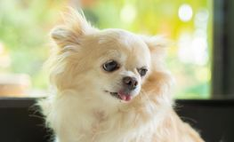 Chihuahua psi portret zdjęcia stock