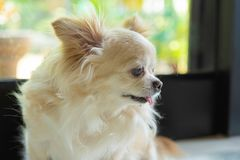 Chihuahua psi portret obraz royalty free