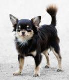 Chihuahua psia pozycja Zdjęcia Royalty Free