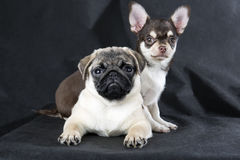 Chihuahua and pug Royalty Free Stock Images