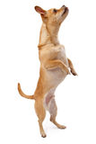 Chihuahua and Pug Mix Dog Dancing Royalty Free Stock Photography