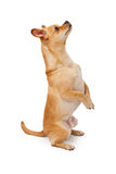 Chihuahua and Pug Mix Dog Looking Up and Begging. A cute Chihuahua mix dog standing on hind legs begging against a white backdrop Stock Image
