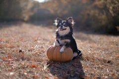 Dog and pumpkin royalty free stock photo