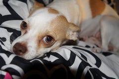 Chihuahua & x22; Pumpkin& x22; Stock Afbeeldingen