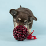 Chihuahua pup Stock Photo