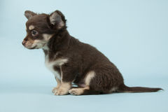 Chihuahua pup Stock Photos