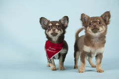 Chihuahua pup Royalty Free Stock Photos