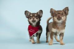 Chihuahua pup Royalty Free Stock Photos