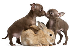 Chihuahua puppies, 10 weeks old, and rabbit. In front of white background Stock Images