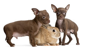 Chihuahua puppies, 10 weeks old, and rabbit. In front of white background Stock Photo