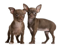 Chihuahua puppies, 10 weeks old, standing. In front of white background Royalty Free Stock Photography