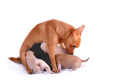 Chihuahua with puppies. On white Royalty Free Stock Photo