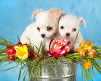 Chihuahua puppies Royalty Free Stock Images