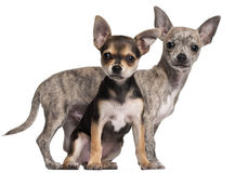Chihuahua puppies, 3 months old Stock Images