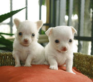 Chihuahua puppies Stock Image