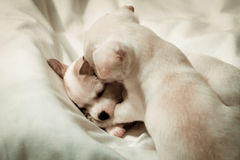 Chihuahua puppies Stock Photography