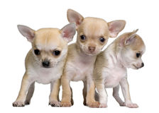 Chihuahua puppies, 8 weeks old. Standing in front of white background Royalty Free Stock Images