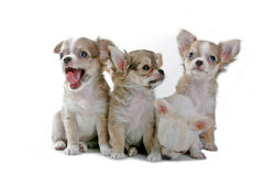 Chihuahua puppies. In a row Royalty Free Stock Photography